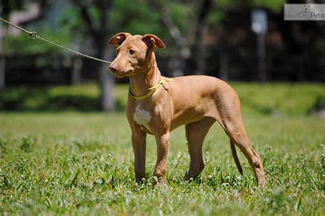 pharaoh hound puppies for sale pharaoh hound puppy for sale near south florida florida 4b29fb3c 0b11