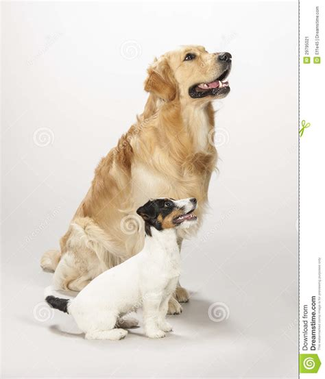 golden retriever terrier golden retriever and terrier puppy stock
