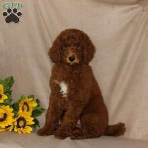 adopt a in pa standard poodle rescue pa dogs in our photo