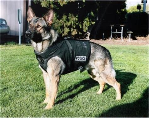 cómo entrenar a un perro para que sea guardián   perrospedia
