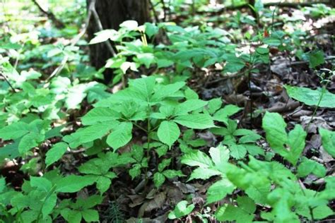 How To Find Looking For How To Find Ginseng Look For The Right Habitat Ozark