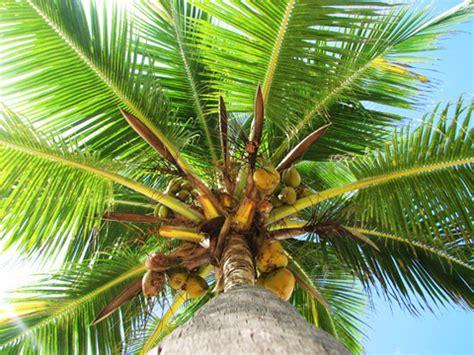 Coco Nucifera Entretien by Cocotier Cocos Nucifera Plantation Culture Entretien
