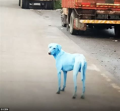 blue dogs india stray dogs turn blue after swimming in indian river daily mail