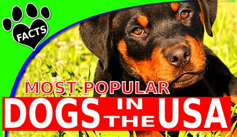 most popular breed top 10 most popular breeds in america 2017 dogs 101 animal facts