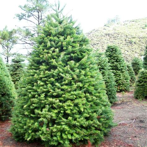 start the season with a fresh christmas tree
