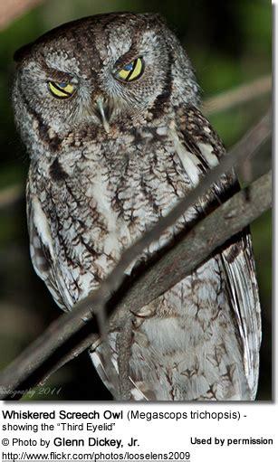 screech owls beauty of birds