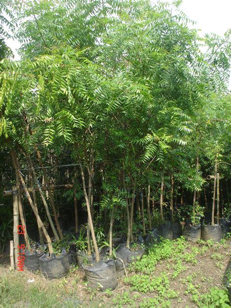 Planting Pots For Sale neem tree 4 cainta plant nursery