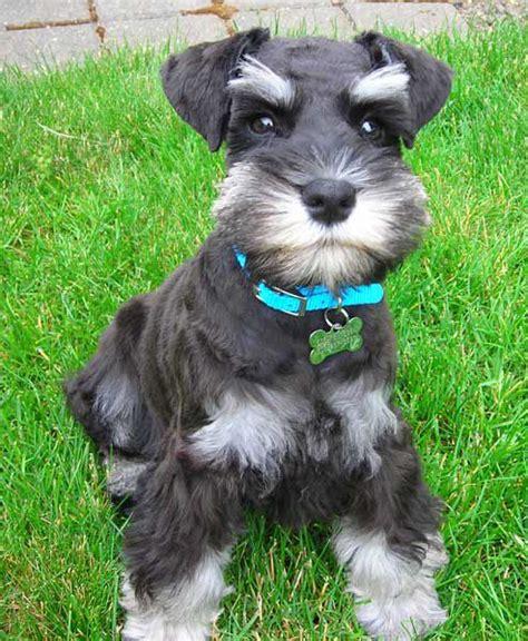 show me some hair cuts for miniature schnauzers schnauzer puppy schnauzers rule pinterest schnauzer