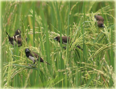 cara membuat zpt tanaman padi inilah cara membasmi hama burung pada tanaman padi dasar