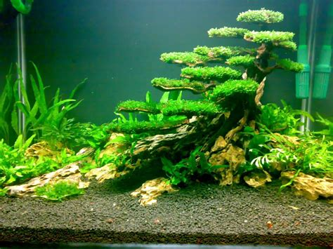 aquascape plant planted tank moss tree aquascaping pinterest plants
