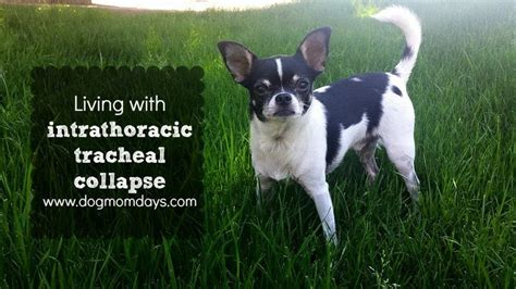 tracheal collapse home treatment 17 best images about healthy pet info food cancer diet recipes on