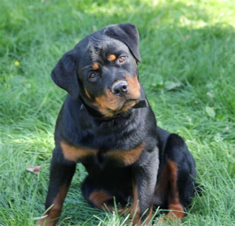 problems with rottweilers 5 problems only rottweiler owners will understand
