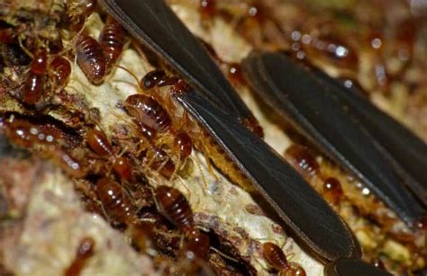 18 easy home remedies to get rid of termites quickly