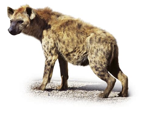 images of hyenas hyenas for hyenas laugh dk find out