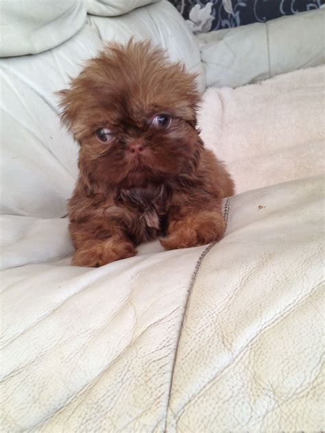 imperial shih tzu breeders uk pin teacup imperial shih tzu puppies for sale image search results on