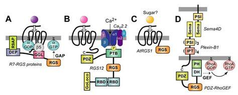 g protein q gtp binding protein alpha subunits gq g11 g alpha q