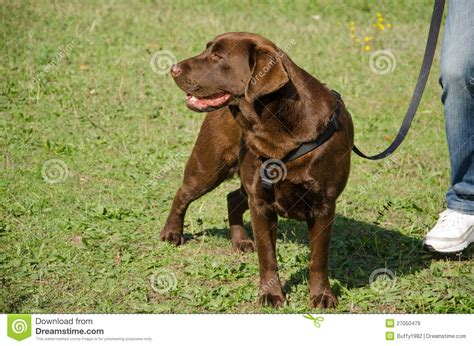 chocolate golden retriever chocolate golden retriever royalty free stock images image 27050479