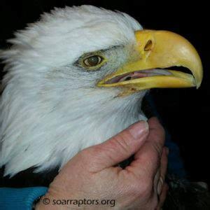 plymouth eagle plymouth county eagle raptor rehabilitation education