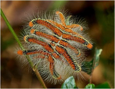 imagenes mariposas raras fotos de orugas 187 mariposapedia