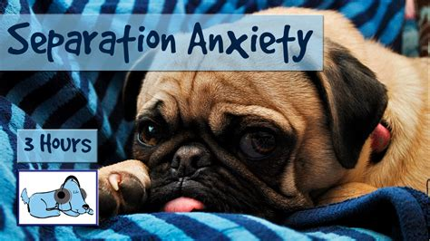 pug separation anxiety dealing with your pug s separation anxiety pugs not drugs