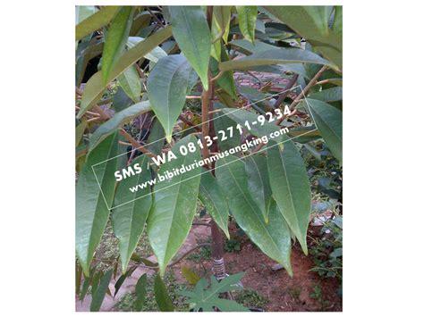 analisa budidaya durian bawor bibit durian bawor asli