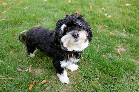 black havanese black and white parti havanese pictures to pin on pinsdaddy