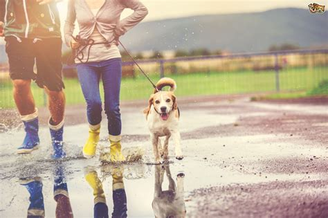 how far to walk a puppy top tips when walking your when it s raining pets4homes