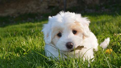 white puppy hd wallpaper wallpaper