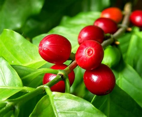 pohon kopi coffee cherry gt bean my blog