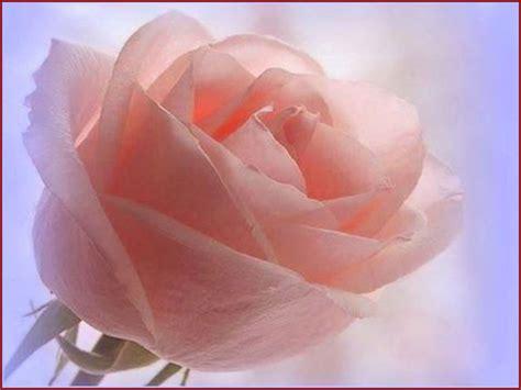 imagenes rosas color im 225 genes de rosas con movimiento para mi novio