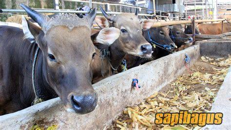 Harga Pollard Pakan Sapi promo jual pakan sapi konsentrat murah jabodetabek