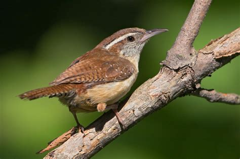 Backyard Gifts by Carolina Wren Audubon Field Guide