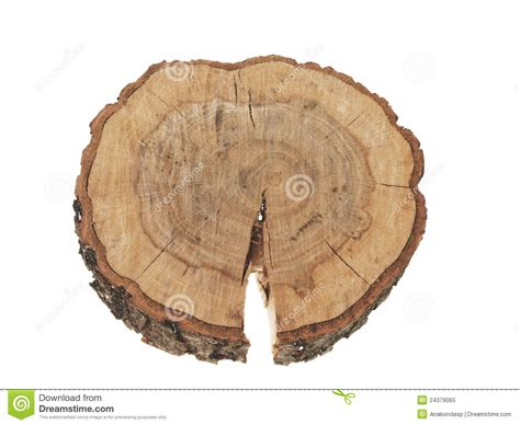 cross section of a tree trunk cross section of tree trunk rings isolated royalty free