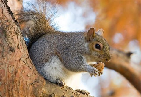 the life span of a squirrel on average for grey fox red