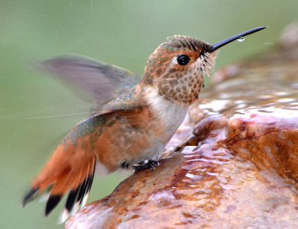 hummingbird predators what eats hummingbirds