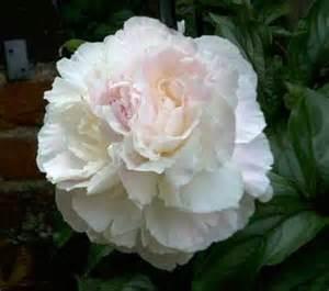 White Peony Flower - flower market flower peony