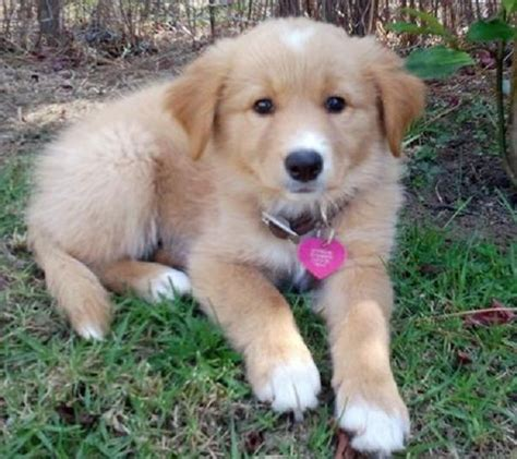 border collie golden retriever mix for sale golden retriever border collie mix puppies for sale zoe fans puppy s i