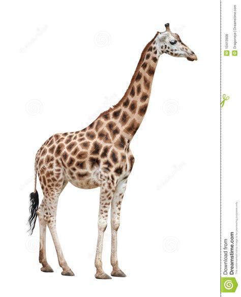 imagenes de jirafas salvajes hembra de la jirafa en blanco foto de archivo imagen