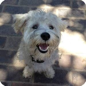 schnauzer poodle mix puppies zeus courtesy adopted puppy redondo ca