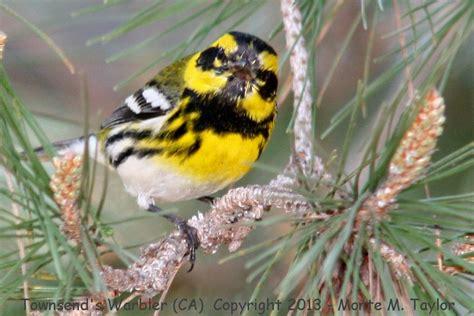 townsend s warbler