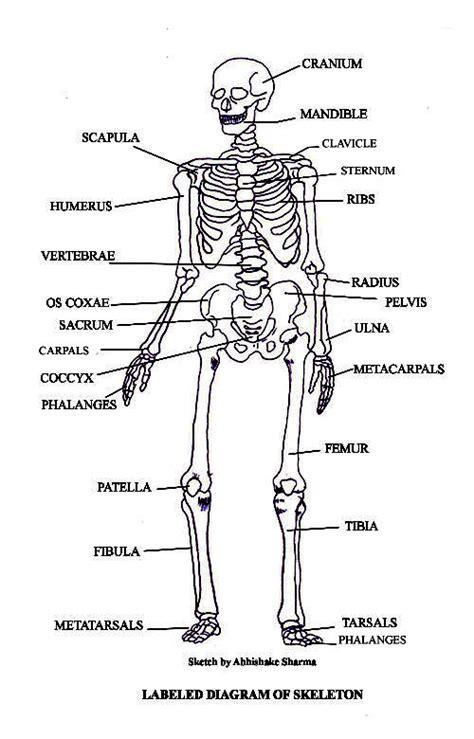labeled bone diagram pictures of bones the skeletal system