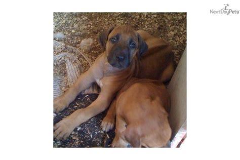rhodesian ridgeback puppies florida rhodesian ridgeback puppies in florida breeds picture