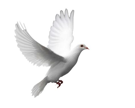 imagenes de palomas blancas gratis especies palomas paloma casera silvestre murci 233 lagos