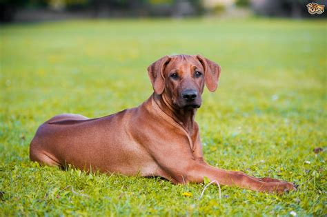 rhodesian ridgeback rescue puppies the genetics of the rhodesian ridgeback s ridge pets4homes