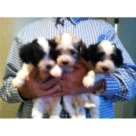 Havanese Breeders In Scotia Breeds Picture