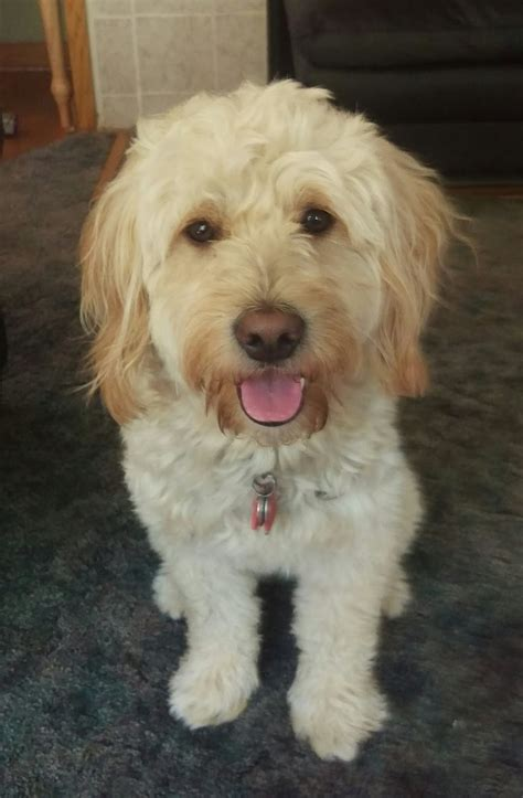 goldendoodle puppy care and daisey s doodles seattle f2 mini puppy 25 to 30 lbs