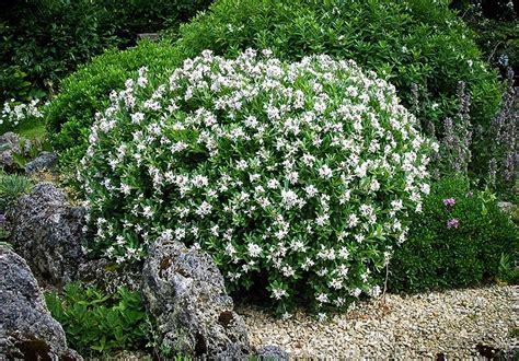 deer resistant flowering shrubs best deer resistant plants and shrubs for your area the