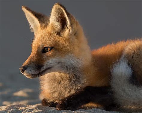 Fox Home Decor Eye Of The Fox Photograph By Bill Wakeley
