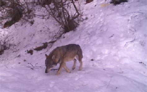 di valle camonica sondrio teglio nuovo avvistamento lupo sulle orobie