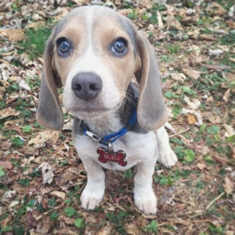 blue beagle puppies best 25 blue beagle ideas on beagle puppies beagle puppy and pocket